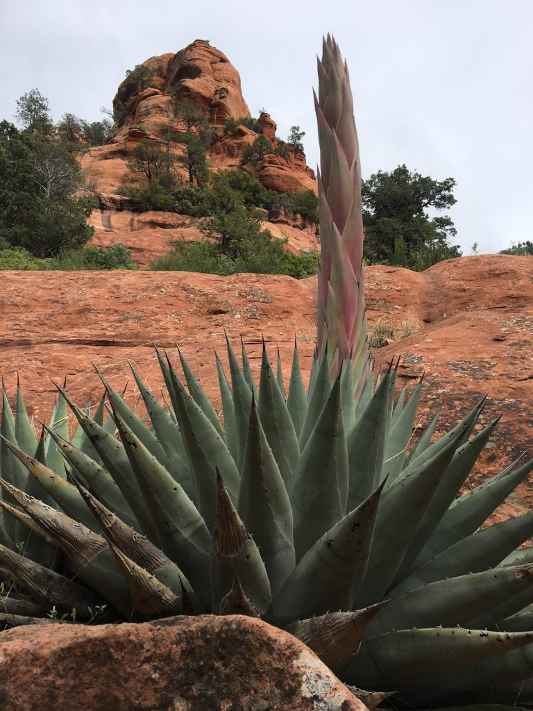 Agave on the Rocks