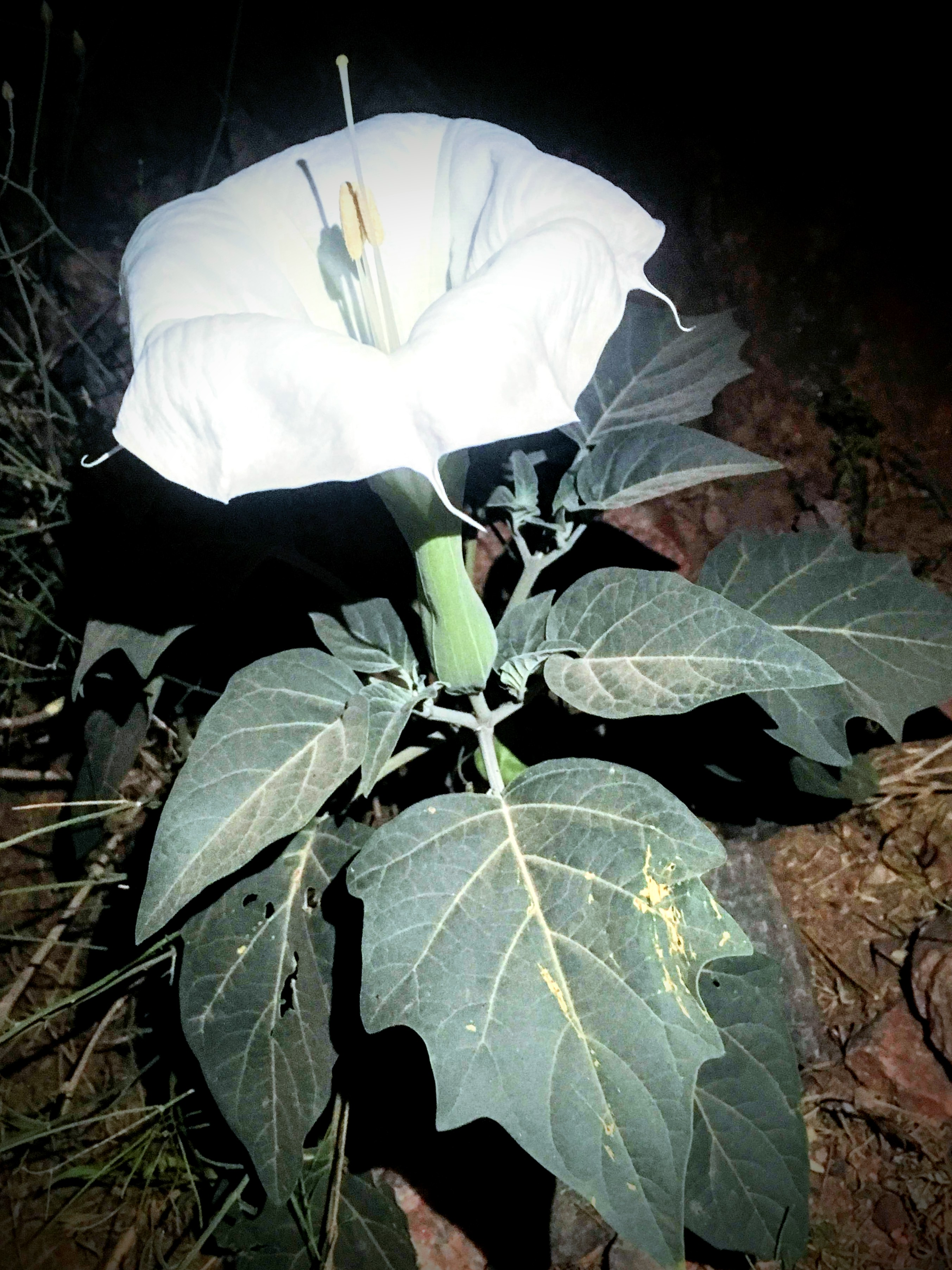 Sacred Datura A Southwestern Moonflower Grand Canyon Collective